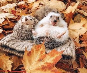 animal, fall, and hedgehog image