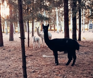 alpaca, animals, and forest image