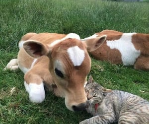 cat, animal, and cow image