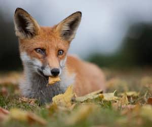 Fiery Red Fox in Autumn