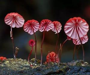 mushroom species, marasmius, and haematocephalus image