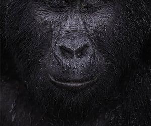 Mountain Gorilla, love animals, and beautiful beast image