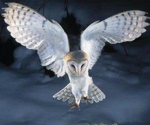 beauty owl birds nature image