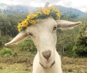 The Prettiest Mountain Goat