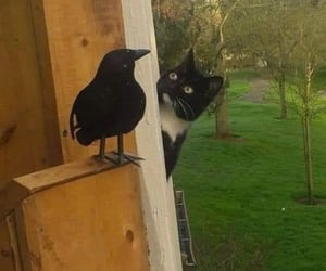 cat, crow, and funny image