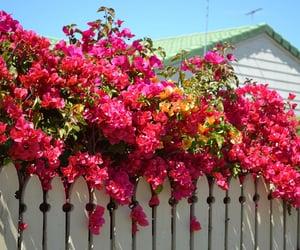 Planta buganvilla con flores rojas