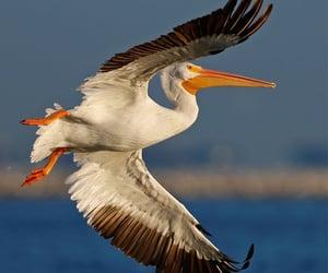 White Pelican in flight at Fort DeSoto ,Florida