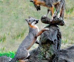 Gray Fox Kits, king of the mountain