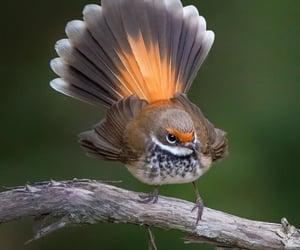 Pocket Peacock.  Rufous Fantail.