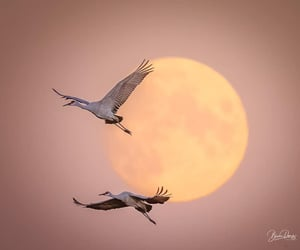 Fly Me to the Moon Sandhill Cranes in their fall migration at Navarino