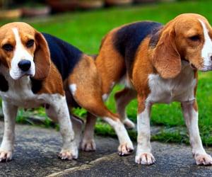 animal, beagles, and beagle image