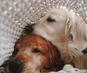 dog and golden retriever image