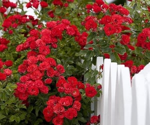 Roses _a classic picket fence moment _ photo by Pete | Flickr