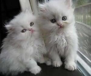 Puede ser una imagen de gato persa