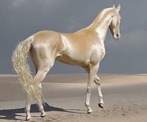 incredibly gorgeous horse, the akhal-teke, and from turkmenistan image