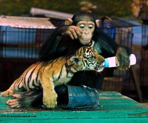 tiger, adorable, and animals image