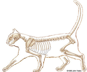 bones, cat, and osteology image