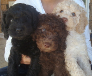 adorable, cuteness, and labradoodle image