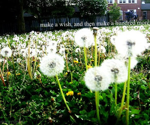 dandelions and wish image