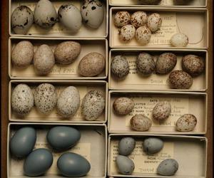 eggs, bird, and egg image
