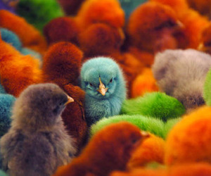 birds, colors, and Chick image