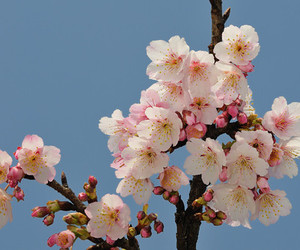 bee, cherry blossoms, and flowers image