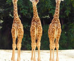 giraffes and nature image
