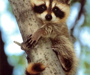 masks, raccon on tree, and cute baby raccoon image