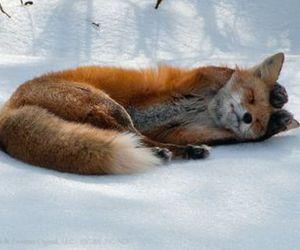 animal, fox, and cold image