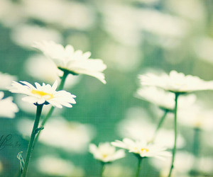 bokeh, explore, and white daisies image