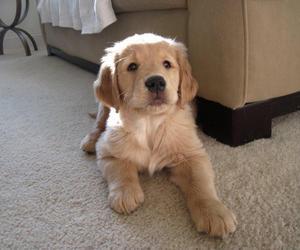 dog, golden retriever, and puppy image