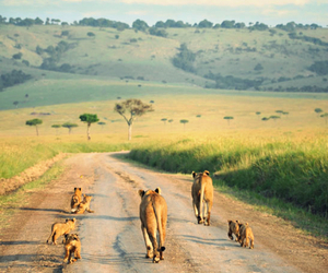 africa, family, and lion image