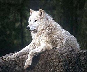 tundra wolf image
