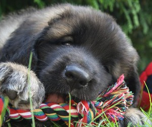 dog, puppy, and leonberger image