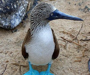 bird, blue feet, and blue-footed image