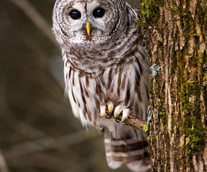 barred owl image
