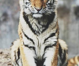 tiger, animal, and galaxy image