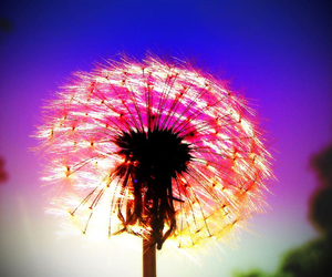 flower, dandelion, and colorful image