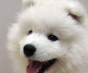 puppy, Samoyed, and dog image