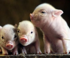 animal, pet, and pig image