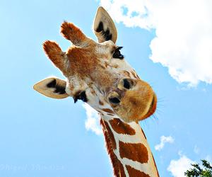 giraffe, animal, and cute image