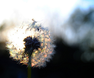 bokeh and dandelion image