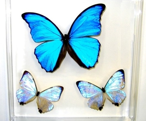 blue morpho, butterfly, and pearl morpho image