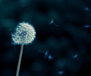 dandelion, flowers, and photography image
