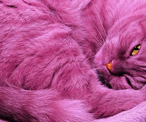 cat, pink, and purple image