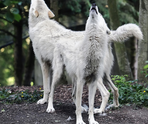 wolf, animal, and Howl image