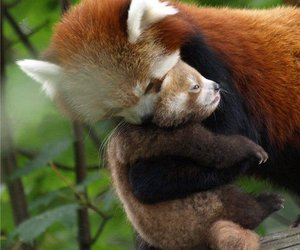 animal, Red panda, and adorable image