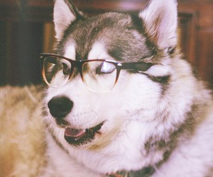 dog, glasses, and husky image