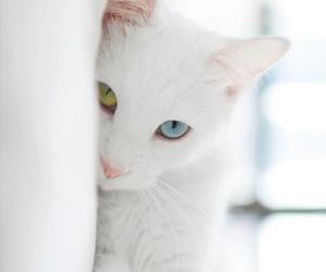 gato branco and olhos verde e azul image