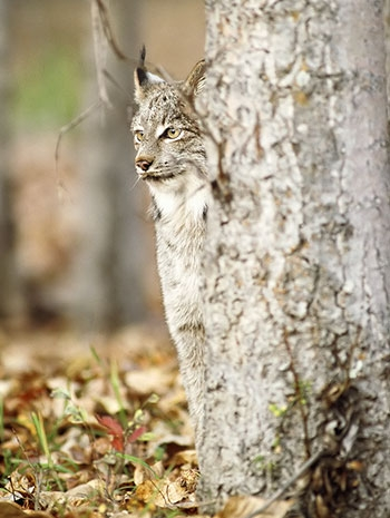 camouflage, forest, and lynx image